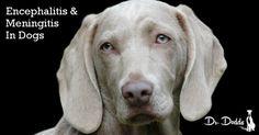Immune-Mediated Encephalitis and Meningitis in Dogs