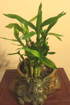 My lucky bamboo. Lucky Bamboo, House Plants, Outdoors, Pictures, Life, Photos, Indoor House Plants, Photo Illustration, Houseplants