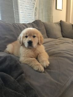 White Golden Retriever More About The Trustworthy Golden Retriever Puppies Exercise Needs Puppy Obedience Training, Best Dog Training, Chien Golden Retriever, Baby Golden Retrievers, American Golden Retriever, Easiest Dogs To Train, Retriever Puppy, Labrador Retrievers, Labrador Puppies