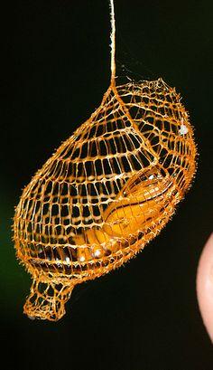 Rainforest Ventilation urodid moth cocoon