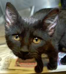 Hallie is an adoptable Domestic Short Hair Cat in Wyoming, MN. Age: 8 weeks at date of arrival (7/30/2013) Breed: DSH - Black w/Silver Ticking How I Arrived At NHS: I was found as a stray and brought to Northwoods to find a forever home. Note From An NHS Volunteer: Hallie is a sweet, playful kitten who would make a wonderful addition to any family.
