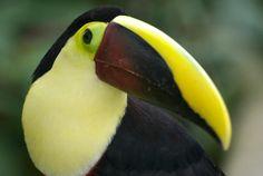 toucan waterfallgardens   - Costa Rica