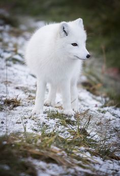 Arctic Fox ... You can get them for a pet, like a dog actually...