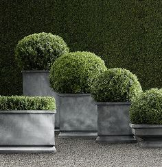 love it - have to learn how to shape boxwood - -Buxus