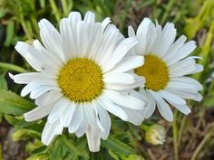 Look for this plant. A longer blooming daisy.