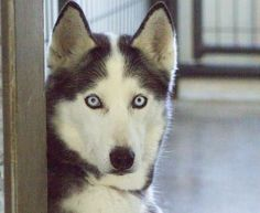 Adopt Cheyenne, a lovely 8 years  4 months Dog available for adoption at Petango.com.  Cheyenne is a Alaskan Husky and is available at the National Mill Dog Rescue in Colorado Springs, Co. www.milldogrescue... #adoptdontshop #puppymilldog #rescue #adoptyourfriendtoday