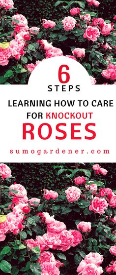 If you want a low maintenance rose bush, Knockout Roses are the way to go. Learning how to care for Knockout Roses is relatively easy; they are designed to be durable. In fact, I think you could do nearly anything to these bushes and not kill them. Diy Garden, Garden Care, Lawn And Garden, Rose Bush Care, Rose Care, Rose Plant Care, Knockout Roses Care, Knockout Rose Tree, Pruning Knockout Roses