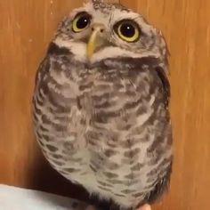 Cute Baby Cats, Baby Owls, Cute Little Animals, Funny Owls, Cute Funny Animals, Owl Pictures, Cute Animal Videos, Cute Birds, Cute Creatures