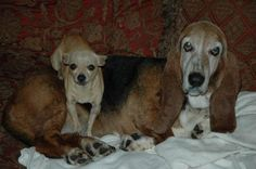 Petfinder Adopted | Dog | Basset Hound | Plano, TX | Ruby the Basset