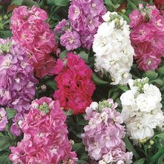 Matthiola incana  Common Name: Stock  The stock flower is most well known for its beautiful scent...read more about it here: http://autumnroseflowershoppe.tumblr.com/