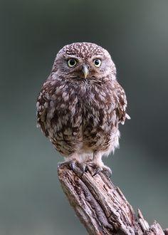 little owl by Karen Summers