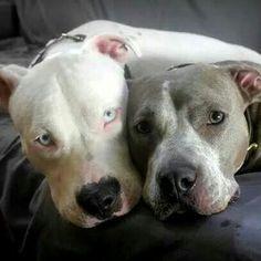 Sweetie Pies! #maggieandmoose loves #pitbulls and #dogrescue