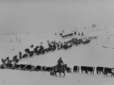 Cattle Drive on Snowy Landscape to Virginia City - By Ralph Crane Cowboys And Angels, Longhorn Cattle, Cattle Drive, Cow Pictures, Virginia City, Cowboy Art, Ranch Life, Horses For Sale, Old West