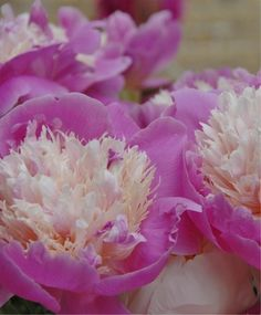 Beautiful peonies.   Some of them have fragrances that are amazing.  I still remember the first time I smelled them in spring of 1980.