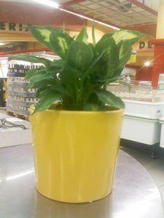 Conceptos #2: Tropic snow (RD$225) + Macetero en cerámica amarillo (RD$320). Disponibles en JUMBO Las Colinas.   Ezequiel Antonio   Visual Merchandising
