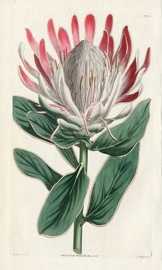 Antique Prints by William Curtis from Curtis Botanical Magazine Flor Protea, Protea Art, Protea Flower, Vintage Botanical Prints, Botanical Drawings, Antique Prints, Nature Illustration, Botanical Illustration, Botanical Flowers