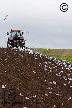 """Seagulls Following the Plough"" Buy now @ http://dwhitfieldart.wordpress.com/farming/ploughing-collection/"