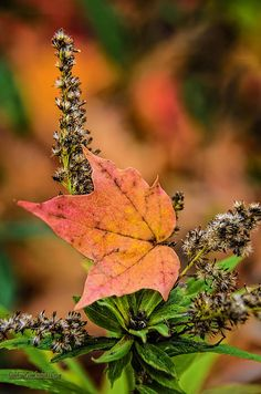 Maple Hugs By LeeAnn McLaneGoetz McLaneGoetzStudioLLC  One last hug my friend your place in the sky has watched over me all summer now that it is time to say good bye I find that I must give you one last hug. Forest friends forever see you in the spring. Macomb Orchard Trail Washington Michigan #maple,#weed,#fall