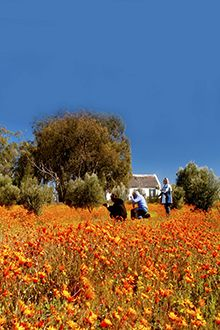 The daisies in Namaqualand are spectacular in spring...Northern Cape - South Africa