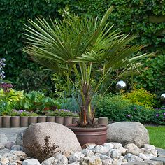 You can find Hardy Fan Palm tree Trachycarpus with trunk on our partner's website YouGarden. You will find it in the category Instant Impact Plants Potted Palm Trees, Palm Trees Garden, Potted Palms, Palm Trees Landscaping, Palm Plant, Tropical Garden, Italian Cypress Trees, Mexican Garden, Gardens