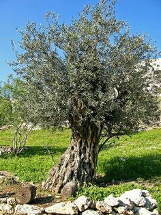 An ancient olive tree in Nazareth Village, near the town of Nazareth, in the Holy Land / nature / arbre / olivier
