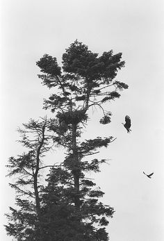 Bald eagles and nest, West Point, Seattle, 1989