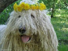 Hippie Komondor – Hungarian Sheepdog