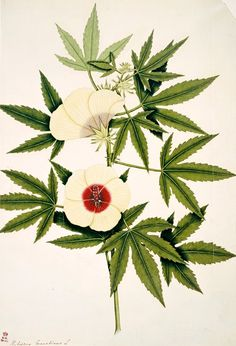 Cannabis Botanicals... funny, none of my plants have flowers like these in the illustration...hmmm