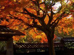 kamakura#北鎌倉#東慶寺#紅葉#縁切り寺