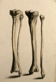 artist: William Cheselden,tibia and fibula bones, circa 1830/1835
