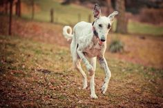 All sizes | A Galgo arrives | Flickr - Photo Sharing!