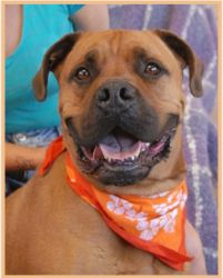 Max is an adoptable Bullmastiff Dog in Las Vegas, NV. Gentle giant, well-behaved Bull Mastiff, neutered boy, 2 years young. Max is a huge, docile boy. We love his colorful personality, his gentleless,...