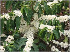 kaffeepflanze-weisse-blueten