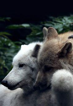 """""""Hudson Bay Wolf (by Safi Kok) """" """"Hudson Bay Wolf (von Safi Kok)"""" Animals And Pets, Funny Animals, Cute Animals, Wolf Spirit, Spirit Animal, Beautiful Creatures, Animals Beautiful, Der Steppenwolf, Tier Wolf"""