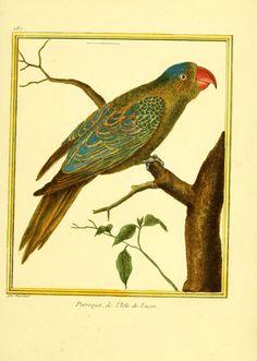 Gravures oiseaux Buffon 287 - perroquet de l ile de lucon