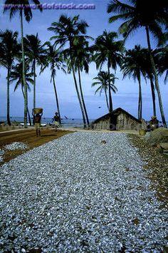 Salted Fresh Fish Drying On The Beach, Colva, Goa
