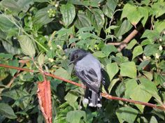 Black Headed Cuckooshrike, Kodaikanal