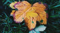 #colorful #autumn Plant Leaves, Colorful, Autumn, Nature, Plants, Garden, Fall, Garten, Fall Season