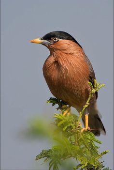 Birds in Thailand: Brahminy Starling