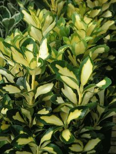 1000 Images About Euonymus Japonicus On Pinterest