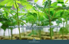 Why is it so difficult to find consistency among different examples of what is supposedly the same strain? To answer this, we must delve into the murky world of cannabis genetics and breeding. Marijuana Plants, Cannabis Plant, Weed Pictures, Types Of Fruit, Medical Cannabis, Hydroponics, Seeds, Genetics, Hemp