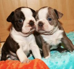 Colored Boston Terrier Puppies Available