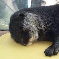 Shhh, otter is sleeping.  Source: https://twitter.com/otter104/status/692192436324569089