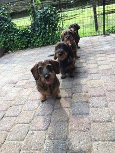 Wirehaired Dachshunds in a queue.