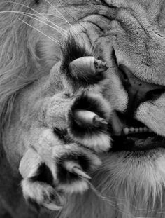 lion - http://www.facebook.com/pages/Protégeons-les-félins/365380933511114
