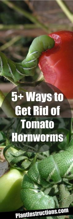 Get rid of tomato hornworms