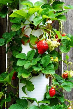 "the strawberry ""tower"" fabricated from recycled PVC piping. This would work for tomatoes too. And, I think it can be tied to the fence fairly easily."