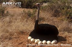 Male ostrich sharing egg-sitting duties. Source: www.arkive.org