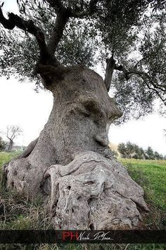 Wise Olive Tree