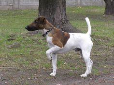 SMOOTH FOX TERRIER. Amazing control!!